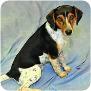 Shorty | Adopted Dog | Cannelton, IN | Treeing Walker ...