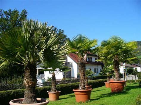 Palme Garten Und Landschaftsbau Berlin by Garten Palmen Kaufen Winterharte Palmen Kaufen