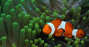 Clown Fish Pictures on Animal Picture Society