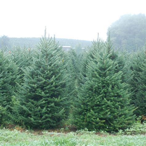 christmas trees at the citrus tower buy your tree today
