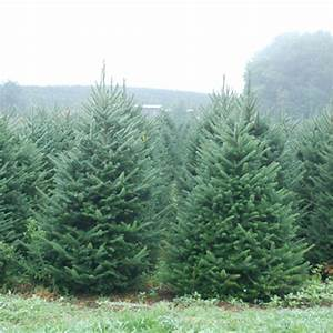 Christmas Trees At The Citrus Tower | Buy Your Tree Today!