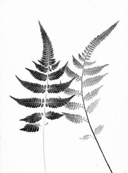 Fern Flickr Botanical Tattoo Niponicum Athyrium Pictum