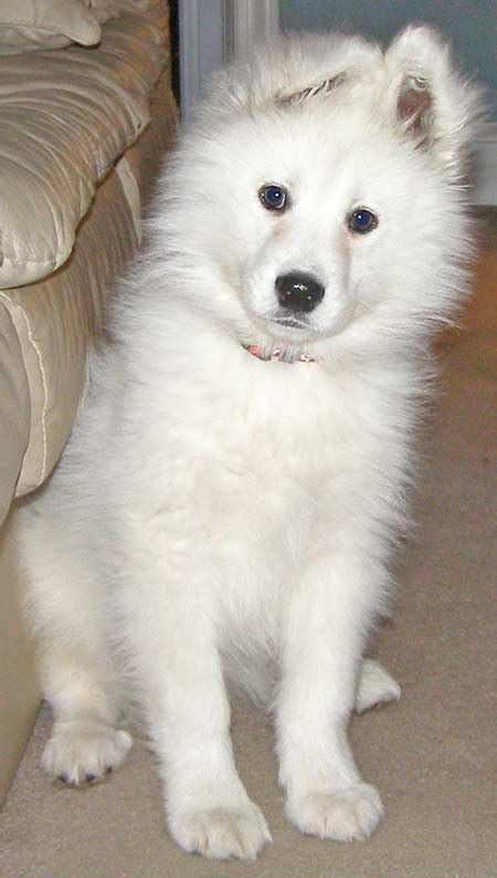 Samoyed Dog Breed Photos Dog Pictures Online