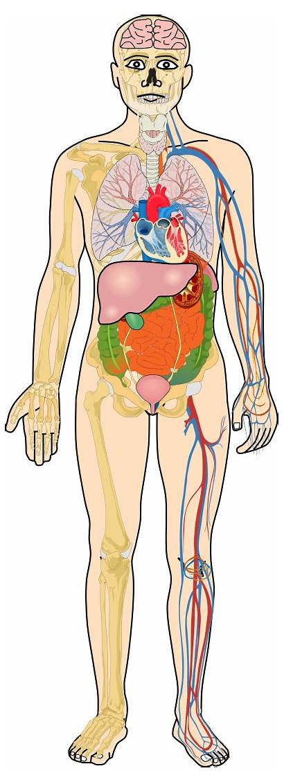 Svg Organs Human Commons 1086 Pixels Wikipedia