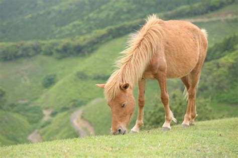 misaki horse breeds horses japan native miyako wild uma check them these japanese odigo