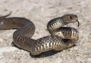 schlangen in australien giftigste arten wichtige infos