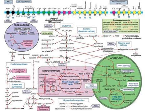 image gallery metabolic pathways