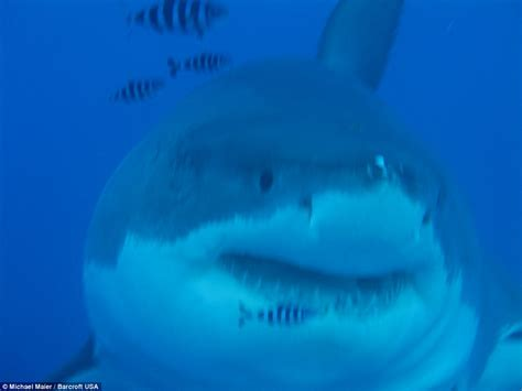 Video shows 20ft great white shark called Deep Blue try to ...