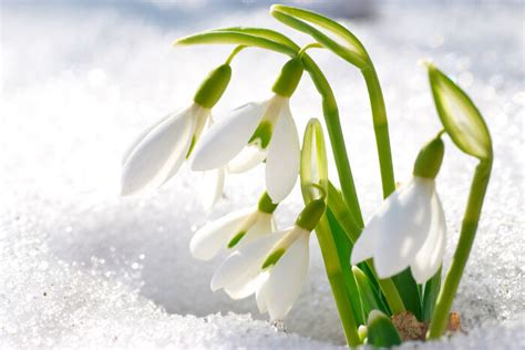 snowdrop pictures snowdrop flower meaning flower meaning