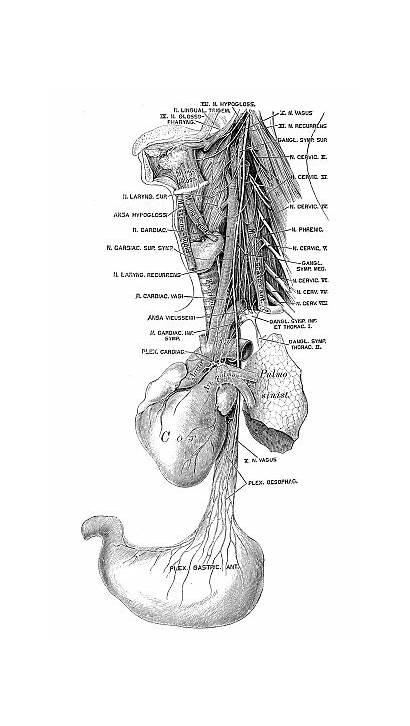 Nerve Vagus Anatomy Scientific Human Illustrations Illustration