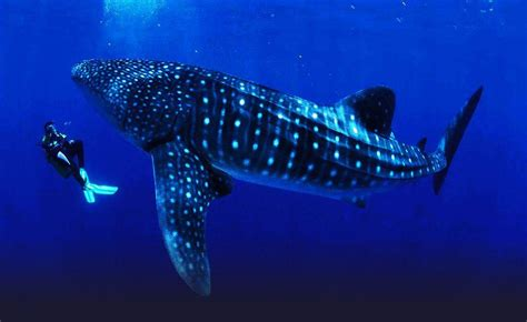 Dive With Whale Sharks The World S Five Best Dive Total Gap Year
