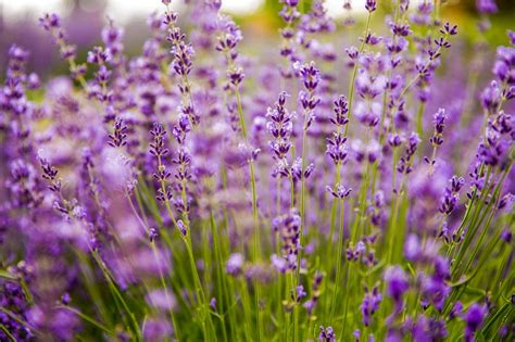 Pflanzen Für Mediterranen Garten by Mediterrane Pflanzen F 252 R Ihren Garten Finden Haas Galabau