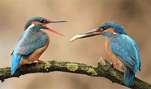 Kingfisher male feeds female partner | Nature | News ...  Kingfisher