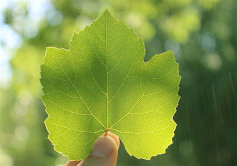 wild grape leaves    harvest  prepare