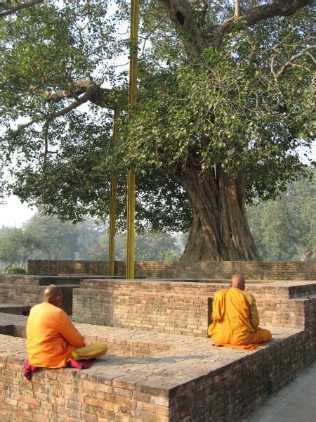 buy sacred fig trees ficus religiosa