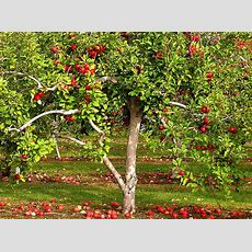 Temperate Climate Permaculture Permaculture Plants Apple