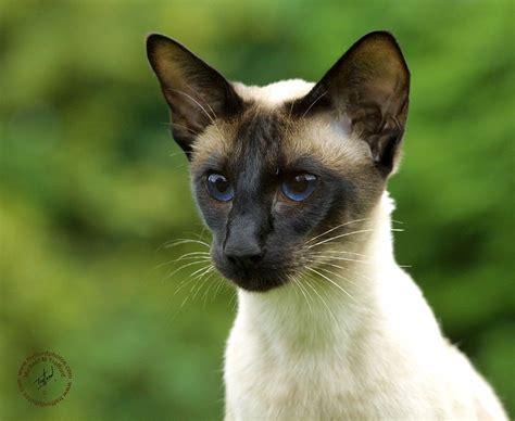Siamese Cats  Cute Cats