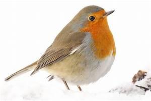 Vogel Mit Roter Brust : leiser winters nger das rotkehlchen im portr t nabu ~ Eleganceandgraceweddings.com Haus und Dekorationen