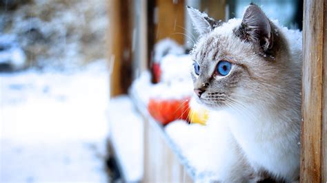 Snow Animal Wallpaper - cat snow animals blue wallpapers hd desktop and