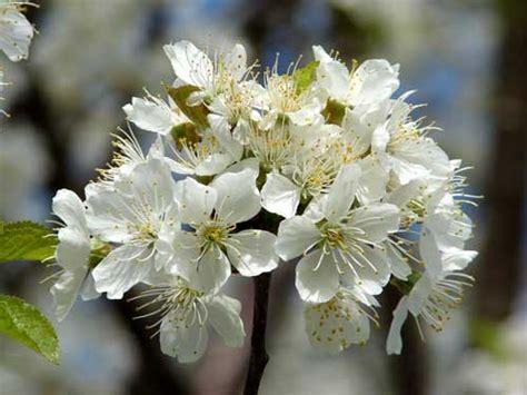 white flowering plum tree trees of ohio american plum