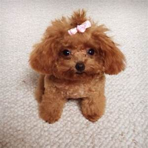 poodle love | Hello! I'm Rosie! I'm a tiny teacup poodle ...