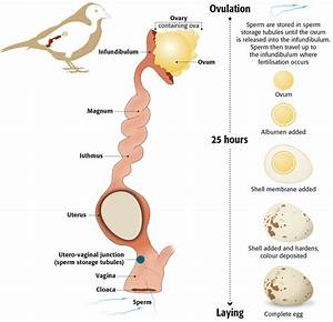 Reproduction System And Ovulation Period Of Birds
