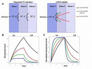 Kinetics Of Gene Induction   A  Two Mechanisms Which Underlie The