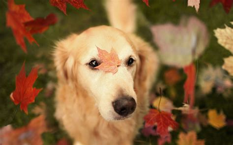 Fall Backgrounds Dogs by Fall Wallpaper With Dogs Amazing Wallpapers