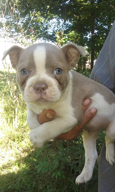 boston terrier puppies  sale cave city ky