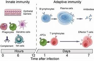 Innate and Adaptive Immune Mechanisms - Creative Diagnostics