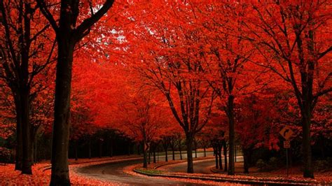 what tree leaves turn in fall 17 red autumn road tree scenic fall rede of hd wallpaper