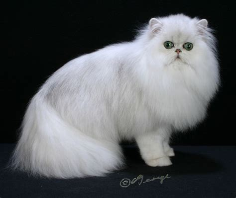 320 Best Persians In The World Images On Pinterest Cute
