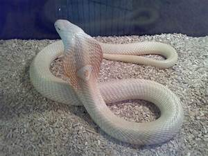 King Cobra Snake - Ophiophagus hannah (World's longest ...