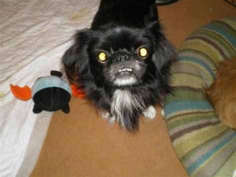 cute dogs black pekingese dog