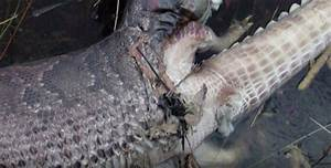 Snake EXPLODES while trying to scoff down alligator ...
