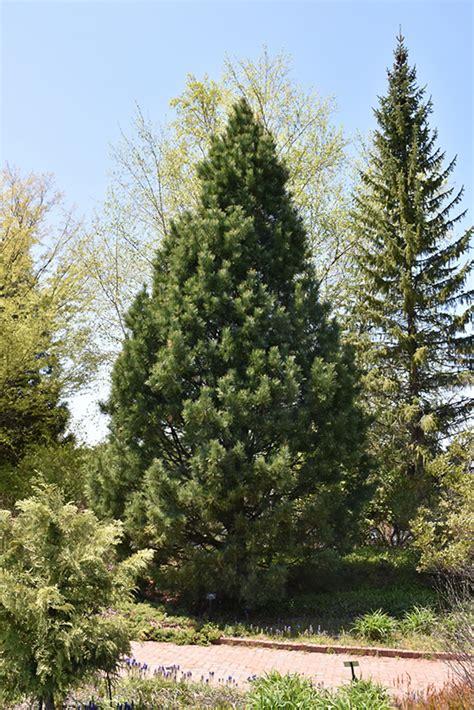 swiss stone pine pinus cembra  edmonton st albert