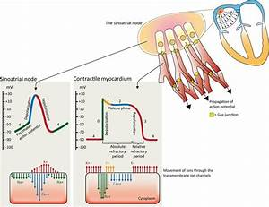 Cardiac Electrophysiology  Action Potential  Automaticity