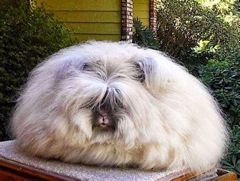 mailday large fluffy angora breed bunnies  pics
