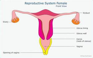 Female Reproductive System Diagram Side View Labeled | www ...