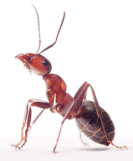 Ökologische Ameisenbekämpfung  Ihr Kammerjäger In München