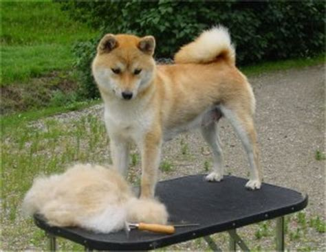 Does Akita Shed A Lot by The Shiba Inu