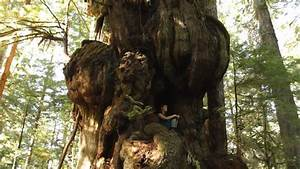Canada's Largest Tree - The Cheewhat Giant! - YouTube