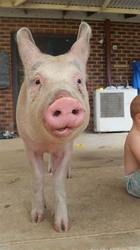pig scared slaughter baby way she herself decides save greener sanctuary pastures ms