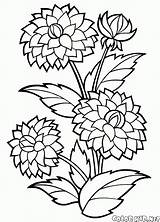 Coloring Dahlia Lily Flowers Pages Print Children Young sketch template