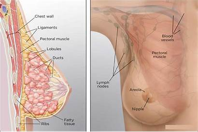 Breast Anatomy Fat Female Necrosis Muscle Inside