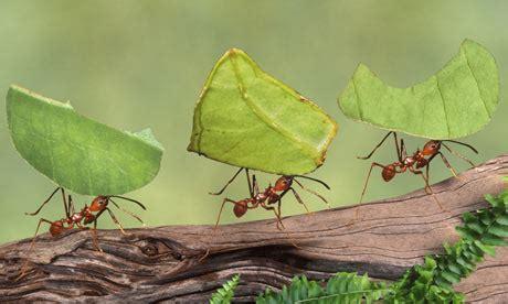leaf cutter ants atta cep jpg