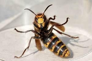 Wespen Im Haus : wespennest entfernen im winter das sollten sie beachten ~ Lizthompson.info Haus und Dekorationen