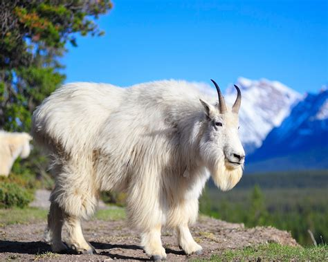 Beautiful Animals Hd Wallpapers - beautiful animal goat wallpapers hd desktop wallpapers