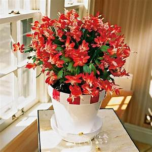 Pflanze Mit Roten Blüten : 52 frische ideen f r zimmerpflanzen ~ Eleganceandgraceweddings.com Haus und Dekorationen