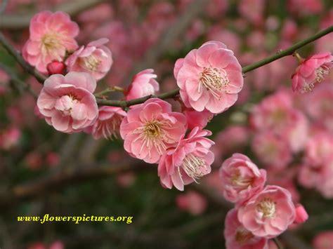 plum tree flowers plum tree flower pink plum flower tree blossom file 455 large image 2048 215 1536 tattoo
